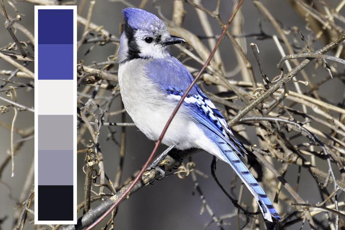 blue jay inspired blue color palette theme