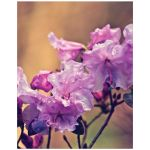 Pink rhododendron flowers art print