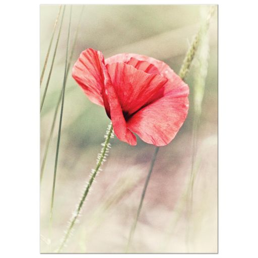 Wild red poppy floral art print
